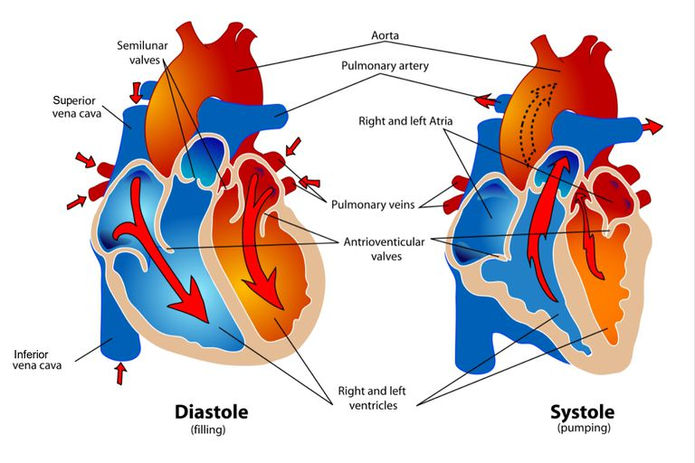 Phases of the cardiac cycle when the heart beats diagram of the heart during the diastole and systole phases of the cardiac cycle ccuart Choice Image