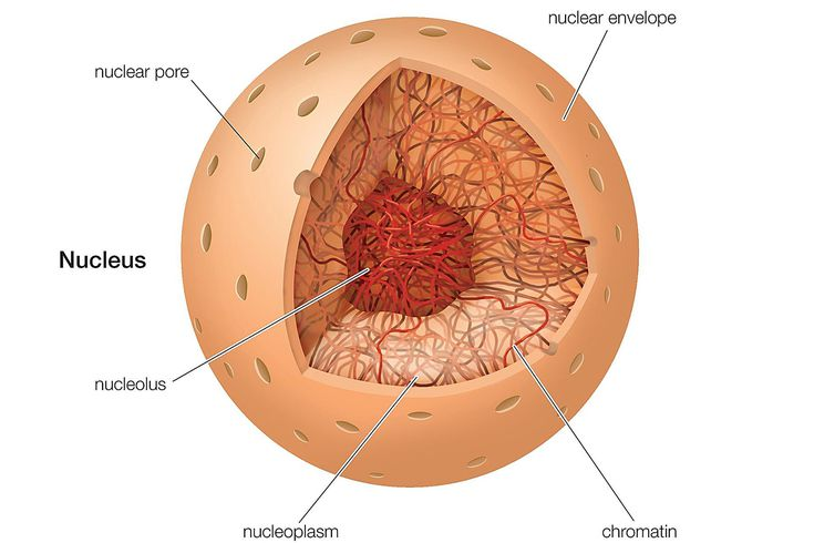 the nucleus - definition, structure, and function, Human Body