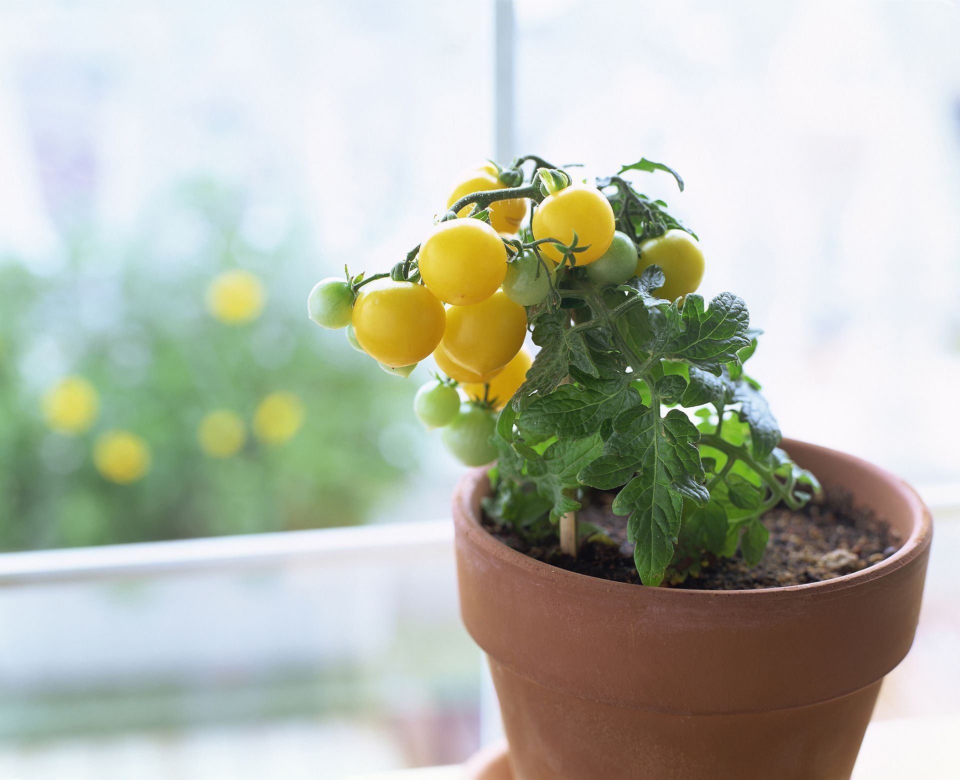 mon Mistakes Growing Tomatoes in Containers