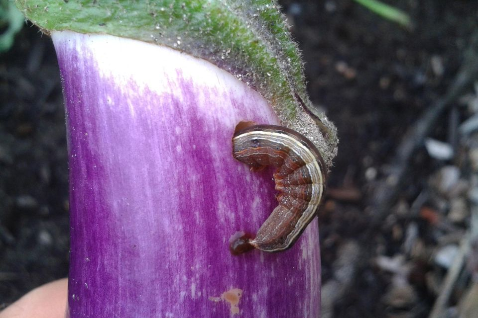 Cutworm