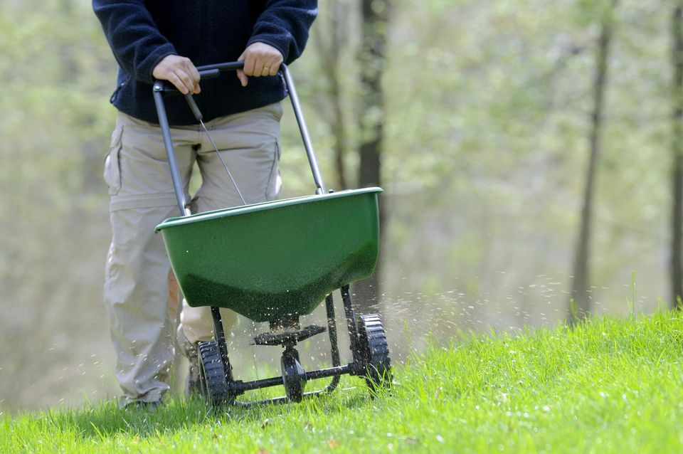 Fertilizing the lawn in the spring.