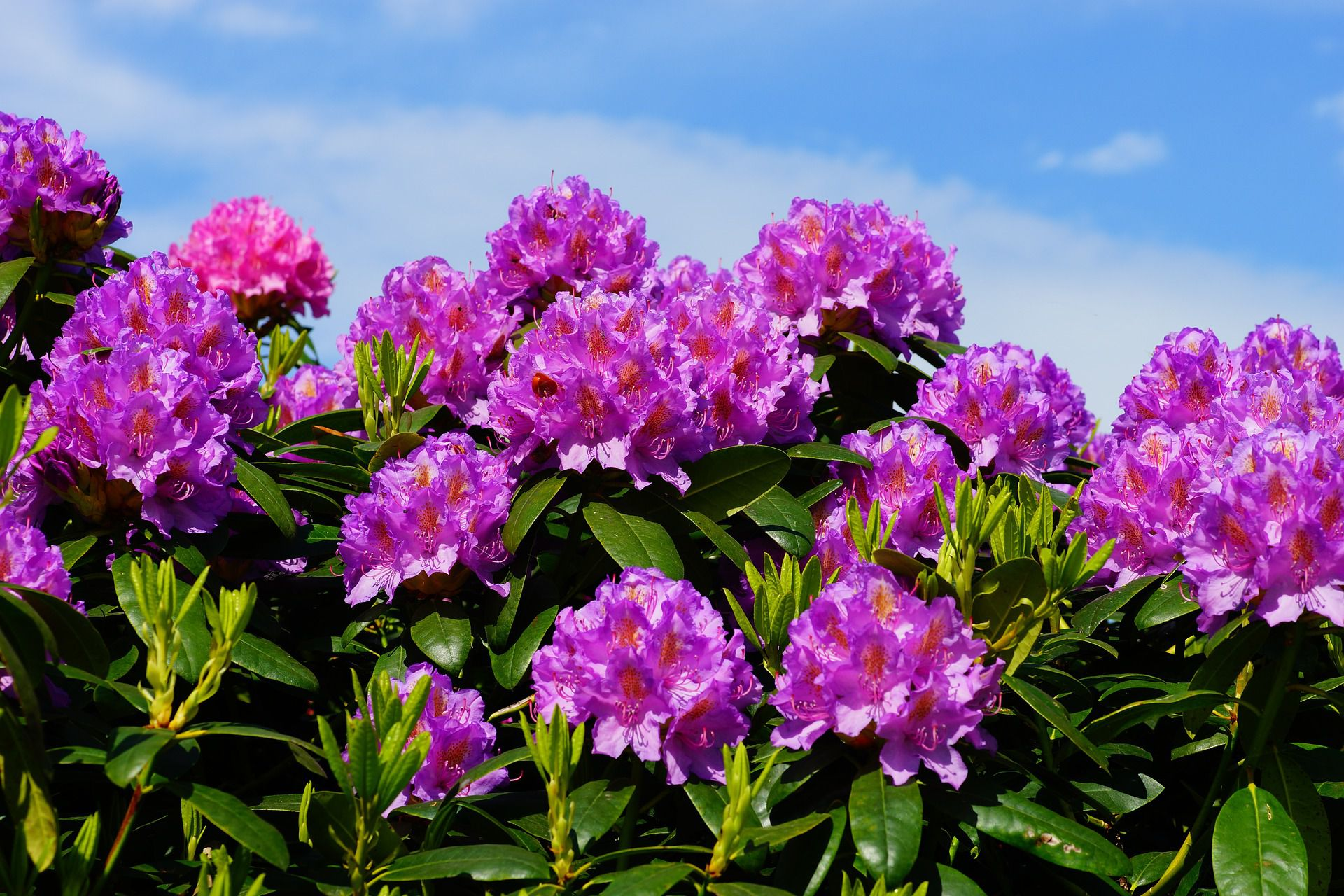 The difference between rhododendrons and azaleas for The azalea
