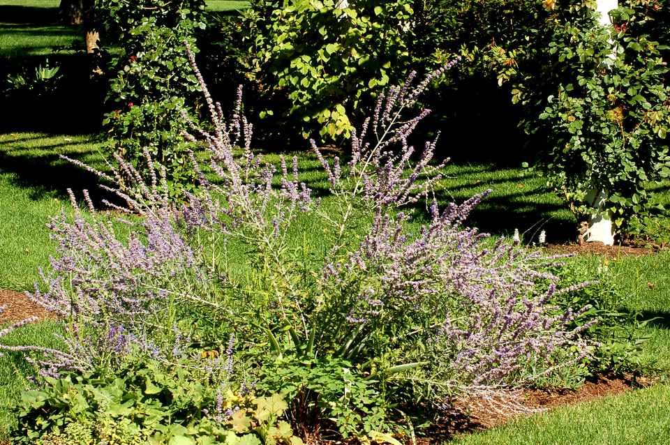 Russian sage (image) supplies diffuse color in a planting bed. It's a shrubby perennial.