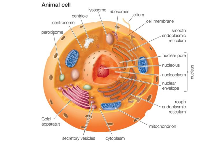 Animal cells and the membrane bound nucleus sciox Images
