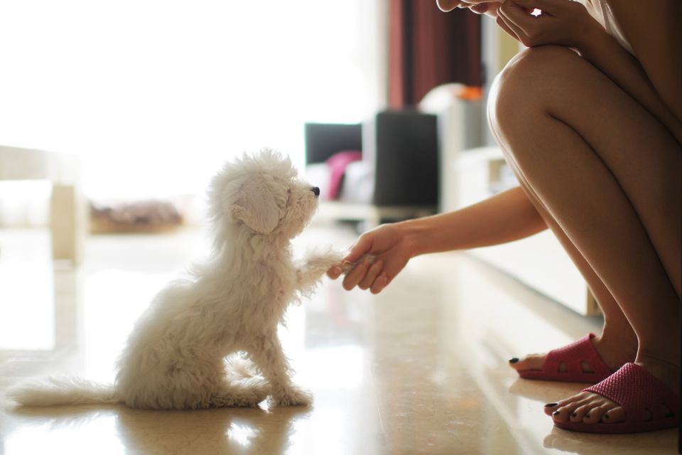 Dog shaking paw with owner