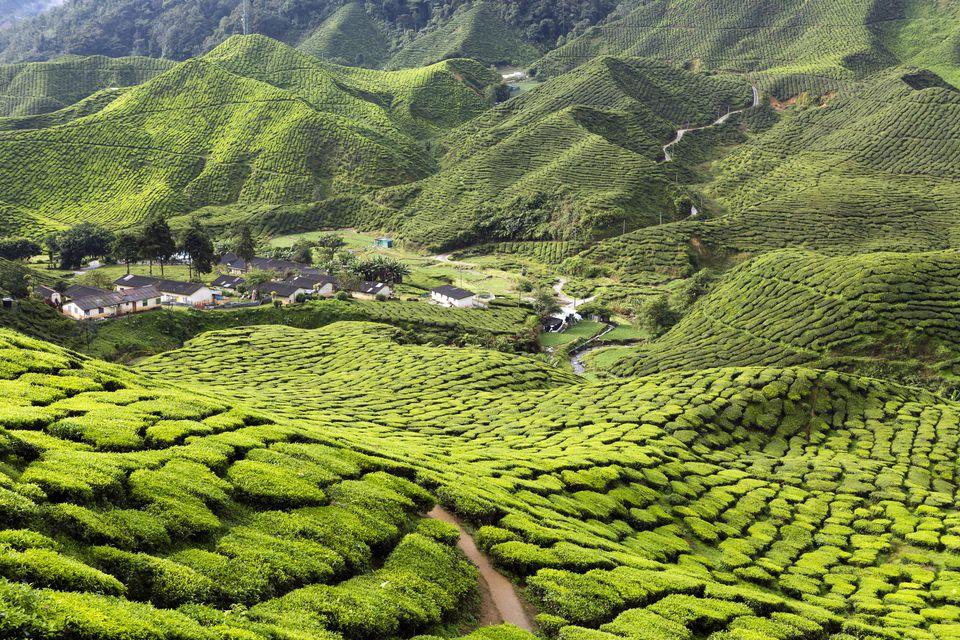 Cameron Highlands tea plantation, Malaysia