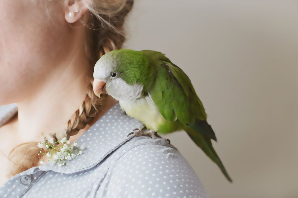 Quaker Parrot on woman's shoulder