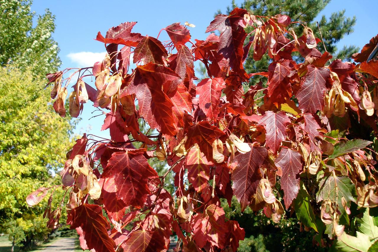 growing the paperbark maple acer griseum in the home garden