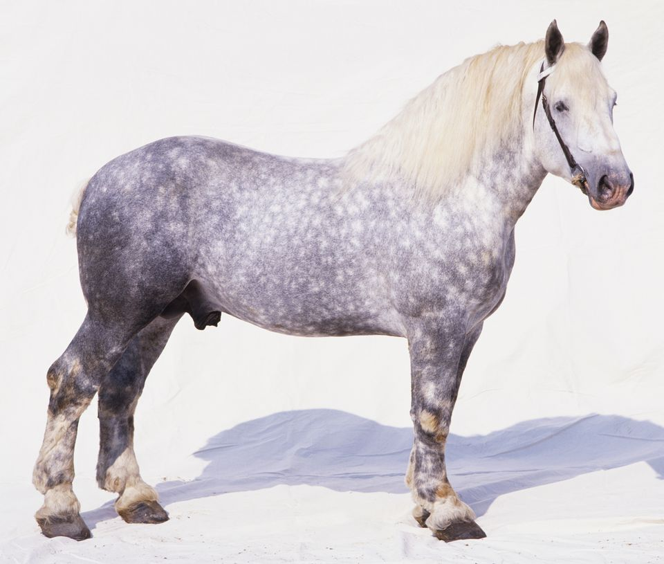 Percheron Horse Breed Profile