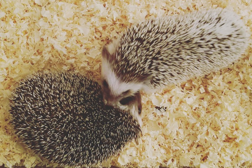 Hedgehog cage
