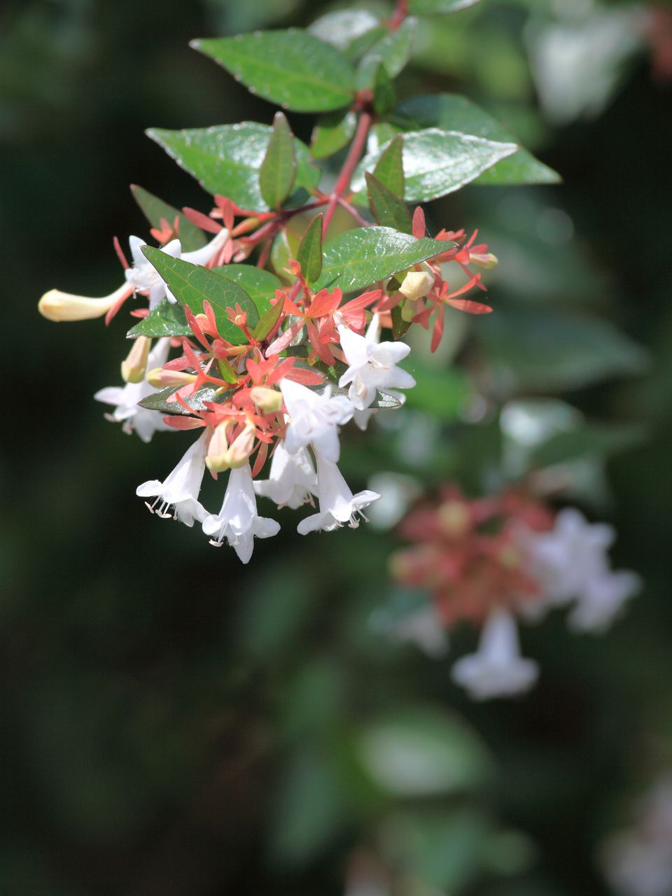 Shrubs For Part Shade And Full Shade Areas