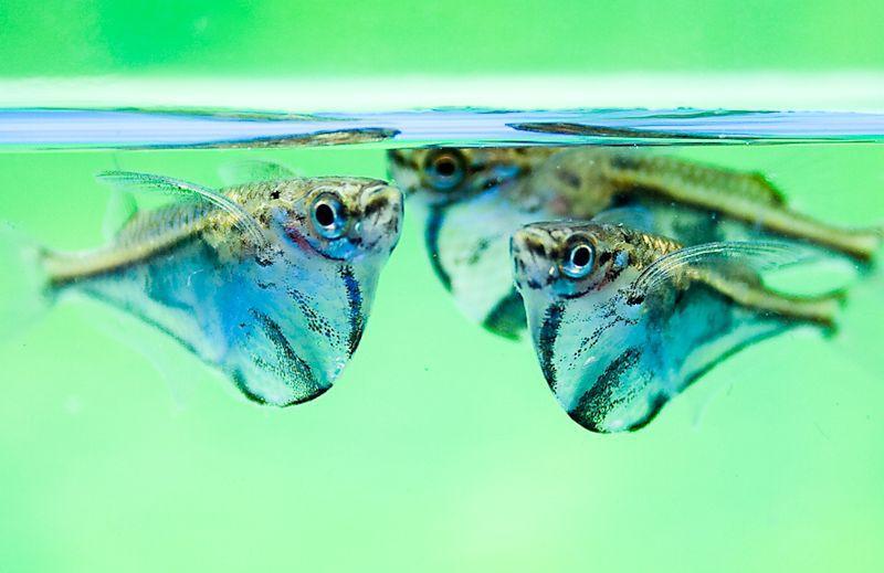 Garnegiella strigata - Marbled Hatchetfish