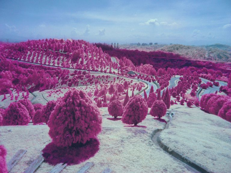 Pink Trees On Rolling Landscape