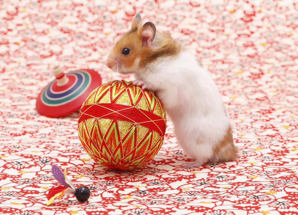 Golden hamster (Mesocricetus auratus) playing with ball, side view