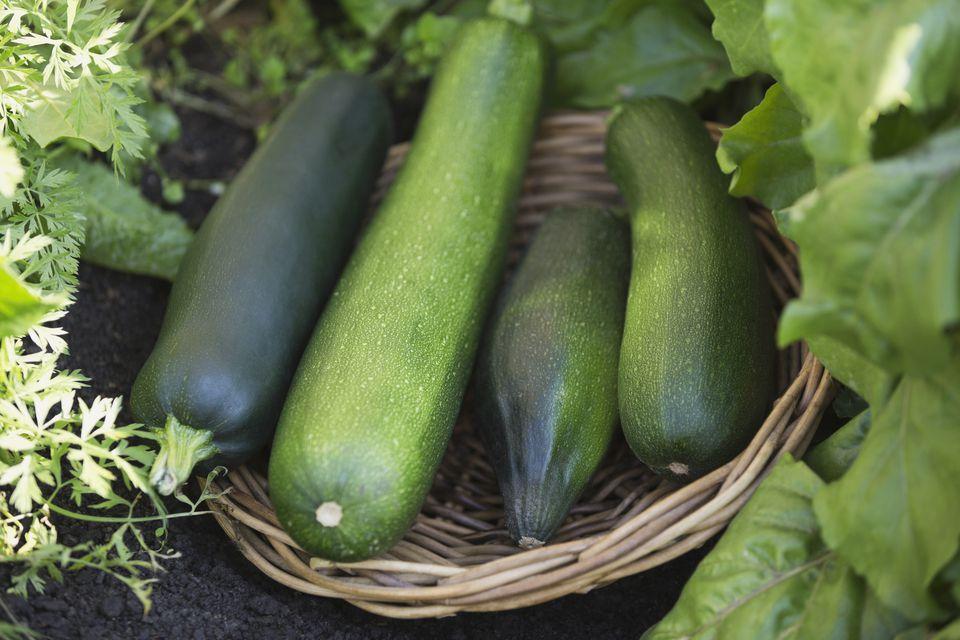 Harvested zucchini