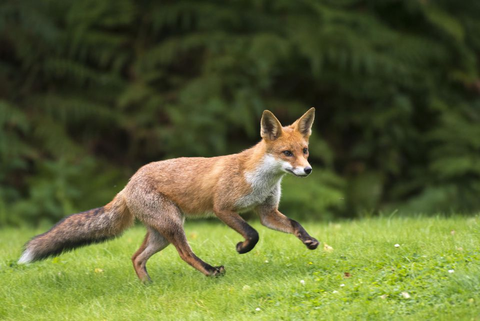 A red fox cub running in the grass