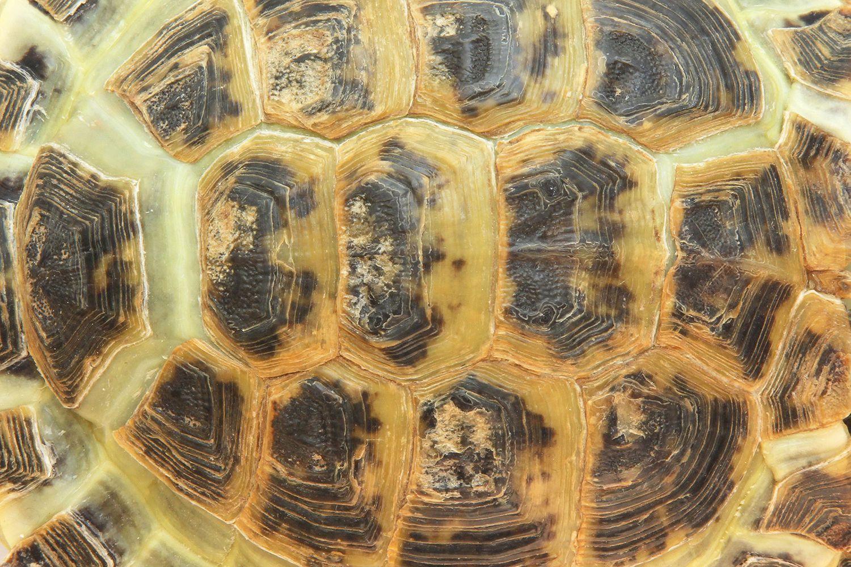 Turtle And Tortoise Shells Turtle Shell Health