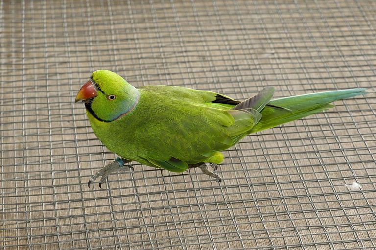 Mascarene or Echo Parakeet (Psittacula eques) Mauritian Wildlife Foundation breeding centre, Mauritius, Indian Ocean