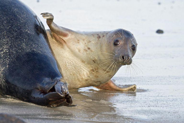 Grey Seal -Halichoerus grypus-, female slapping fin on a male seal's rear, Helgoland, Schleswig-Holstein, Germany