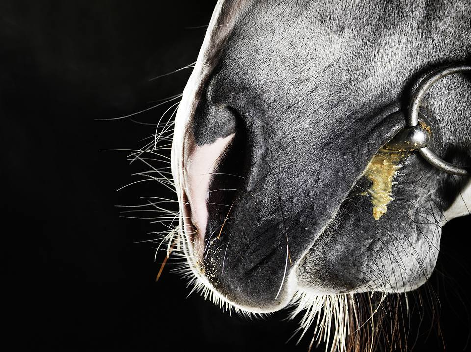 Close up of horse's muzzle and bit.