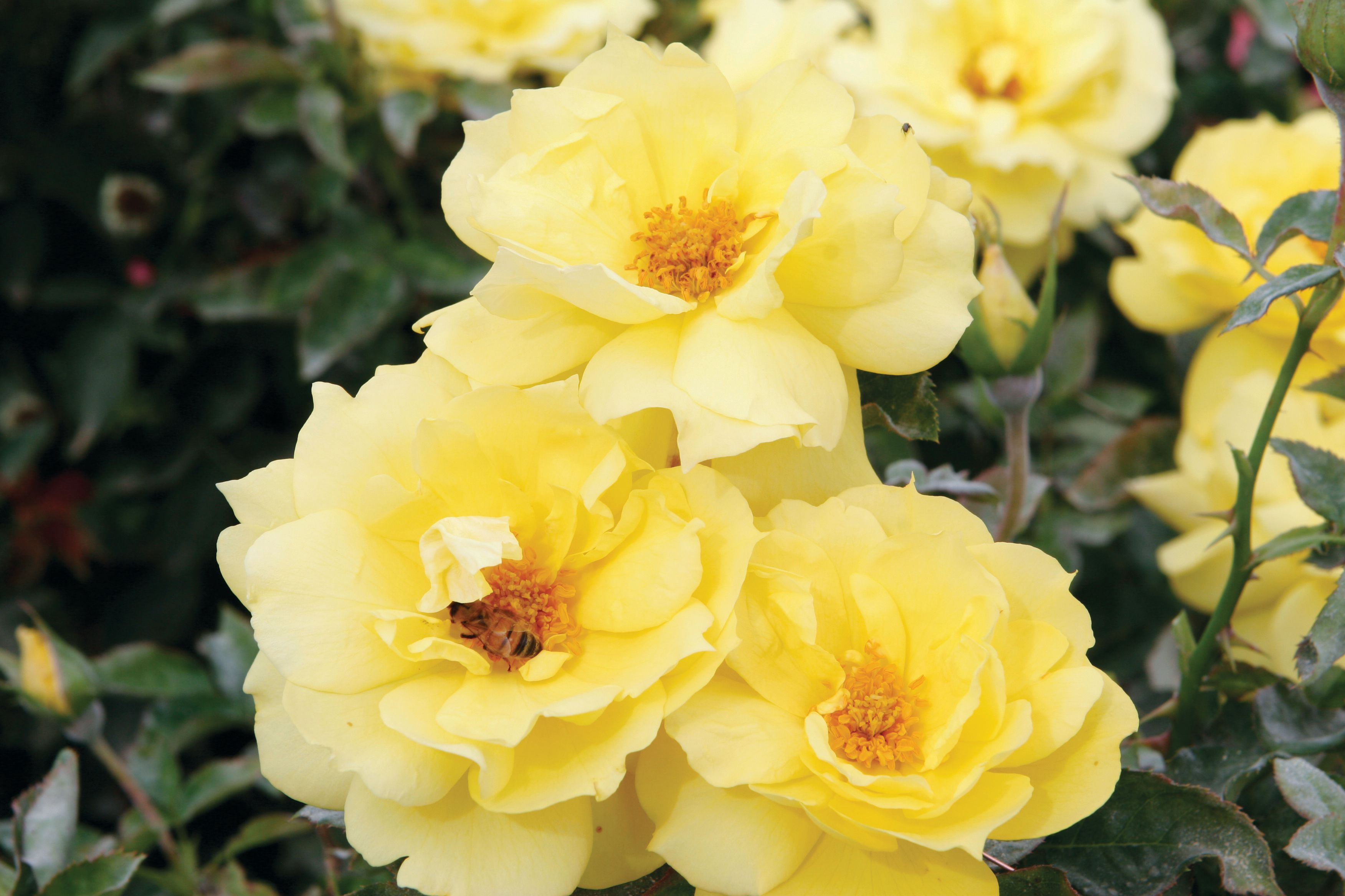 Roses In Garden: The Best Roses For A Shaded Garden