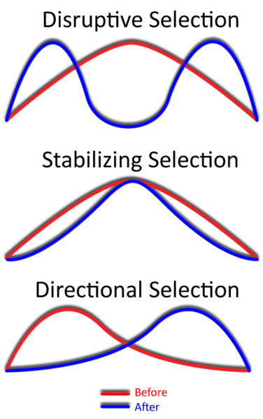 Graphs of the three types of natural selection
