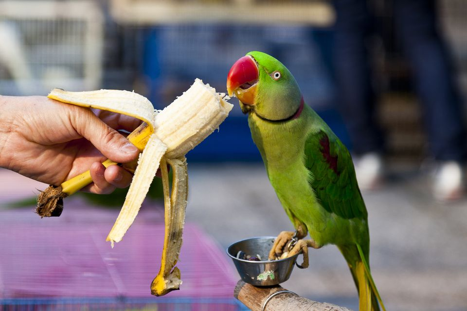 parrot with banana