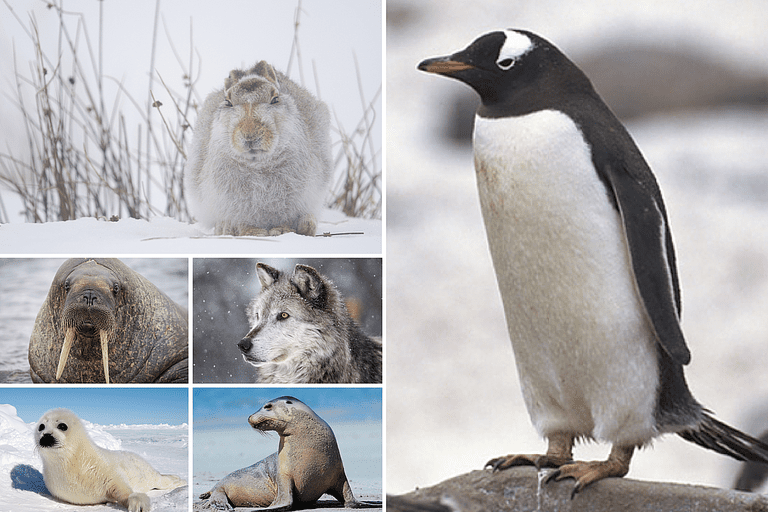 Collage of Tundra Animal Photos