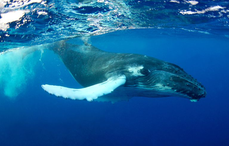 This humpback whale calf was photographed in Turks and Caicos, a site of annual whale mating and calving.