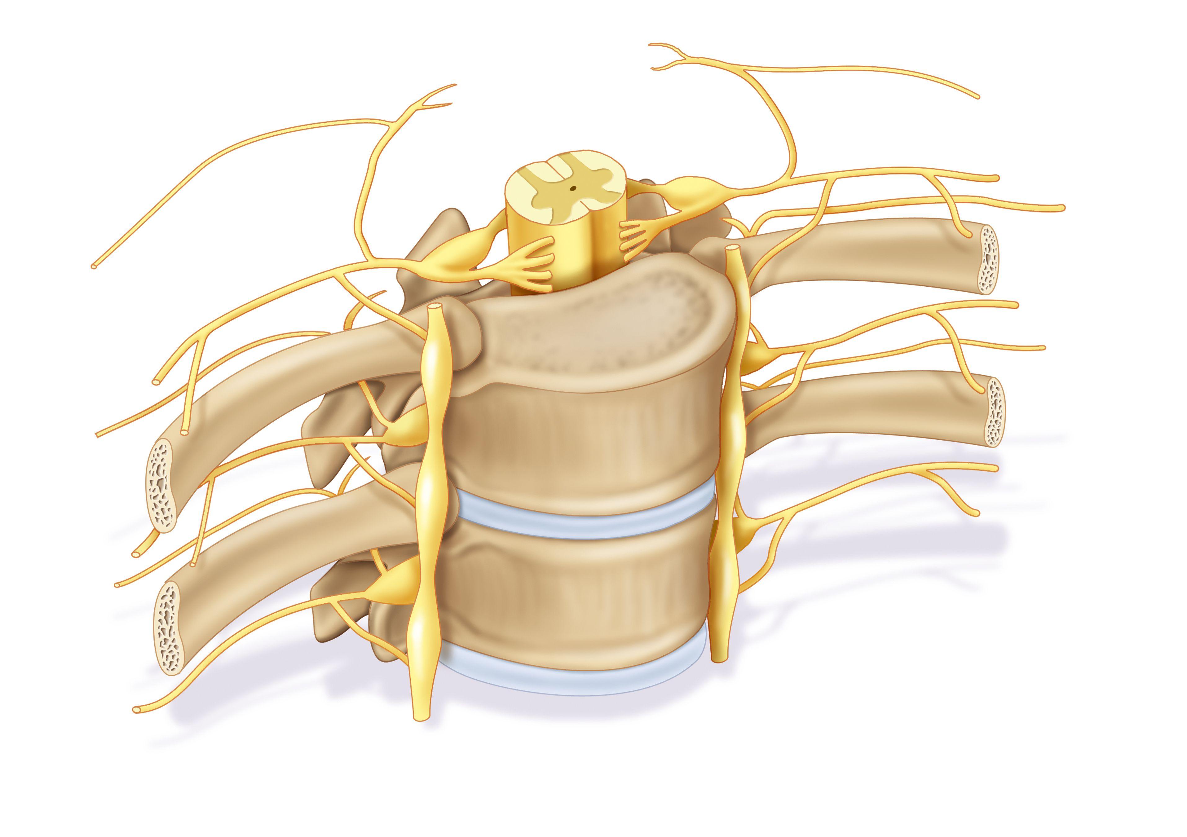 Spinal Nerve Root Definition