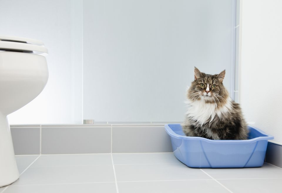 USA, Illinois, Metamora, Cat at litter box