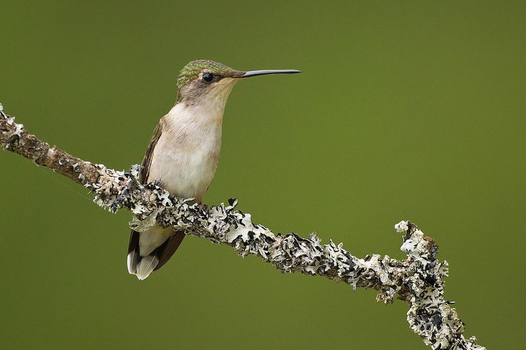 A female ruby-throated hummingbird - Archilochus colubris