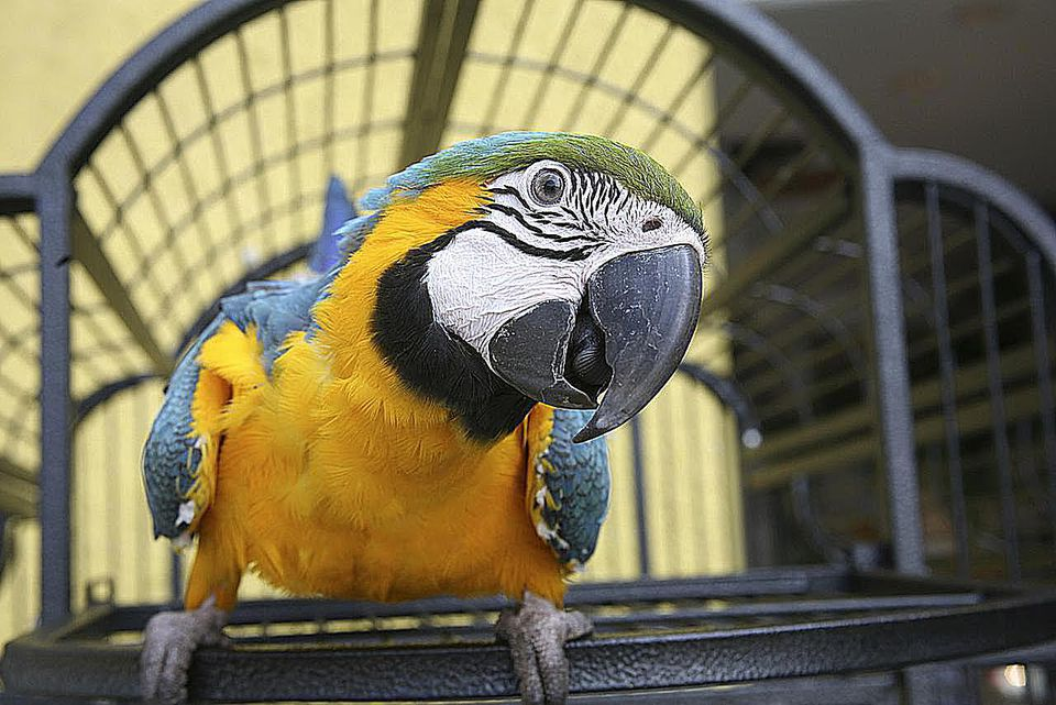 Close up of a Macaw - Blue & Gold
