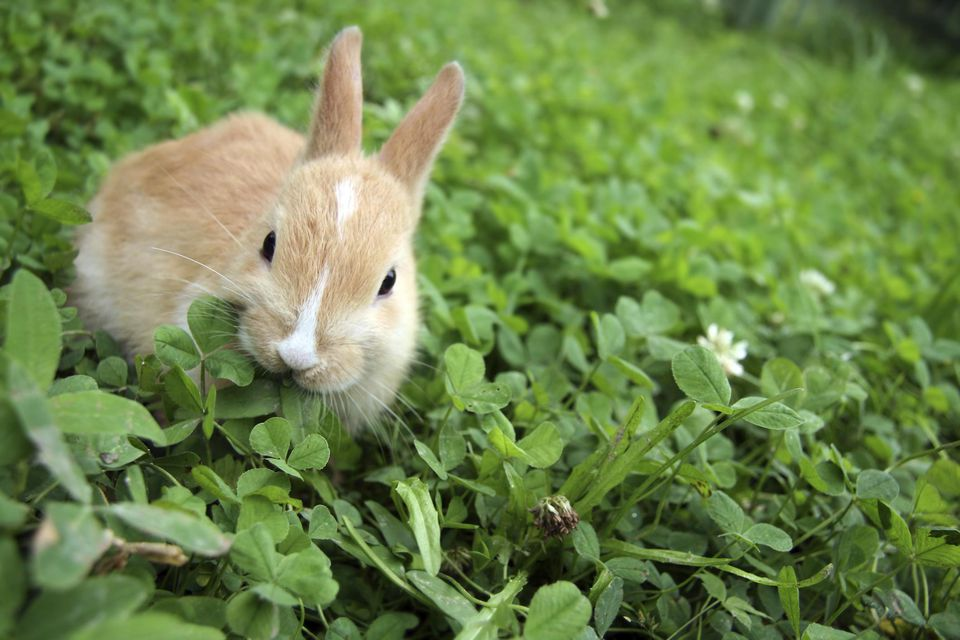 Rabbit on clovers