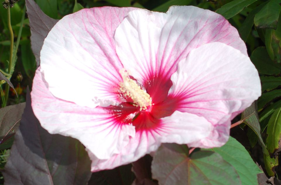 Image: Summerific Perfect Storm hibiscus sports a large, bi-colored flower.