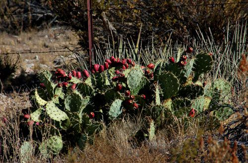 Picture of prickly pear cactus fruit.