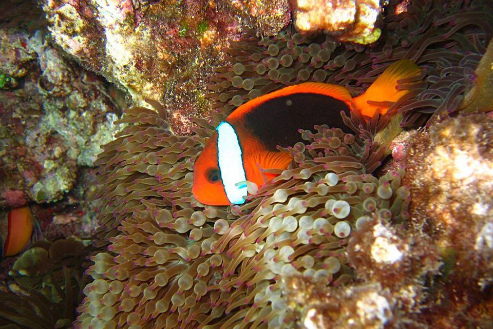 Red and Black Anemonefish (Amphiprion melanopus) in anemone (Entacmaea quadricolor). Steve's Bommie, Ribbon Reefs, Great Barrier Reef