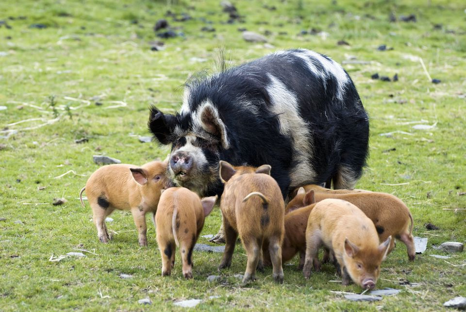 Kune Kune pig with wild boar cross piglets, Pertshire, Scotland, United Kingdom