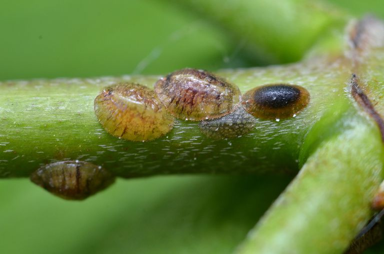 Scale insects.