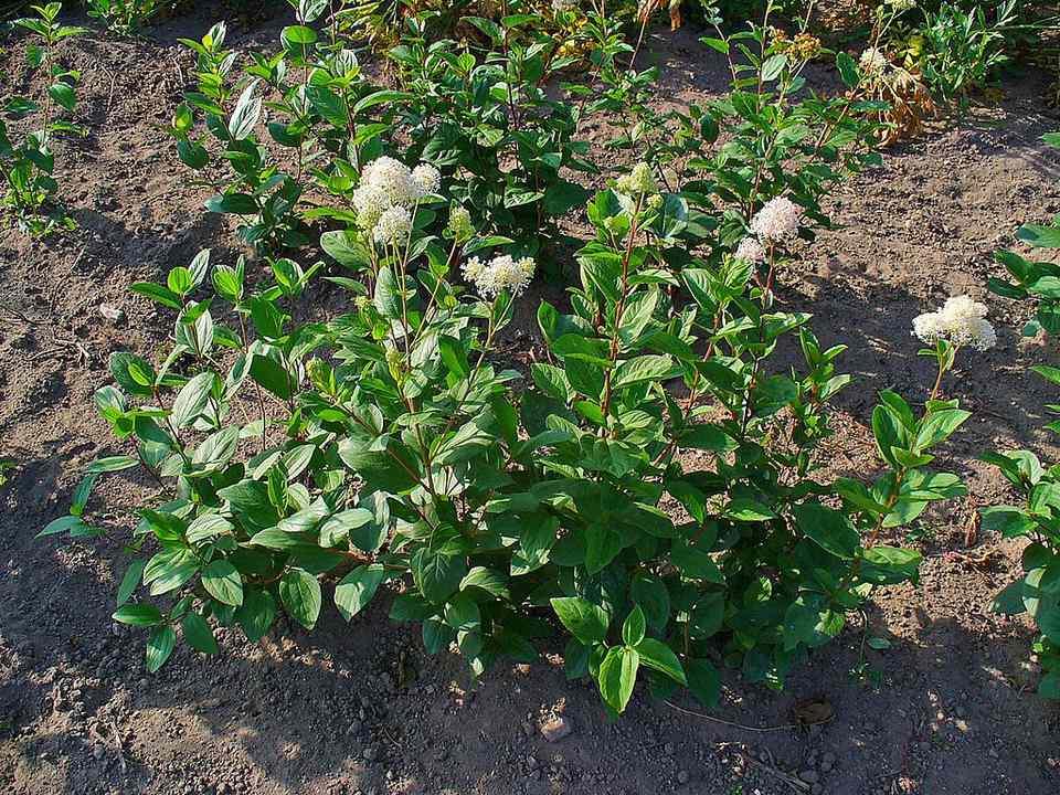 New Jersey tea is a species of Ceanothus