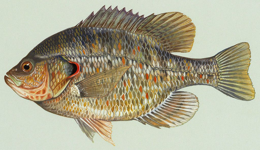 how to keep black bream