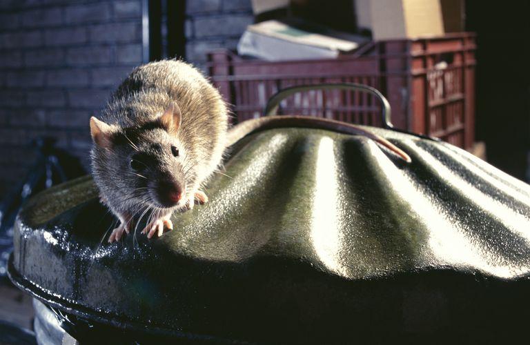 Brown rat (Rattus norvegicus) on dustbin, Europe
