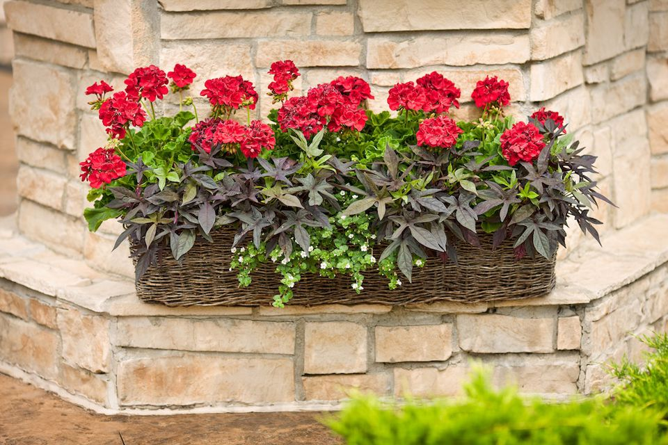 window box with sweet potato vine