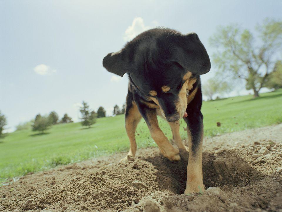 Black dog digging