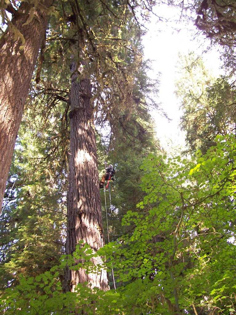 Climbing an Old Growth Doug Fir
