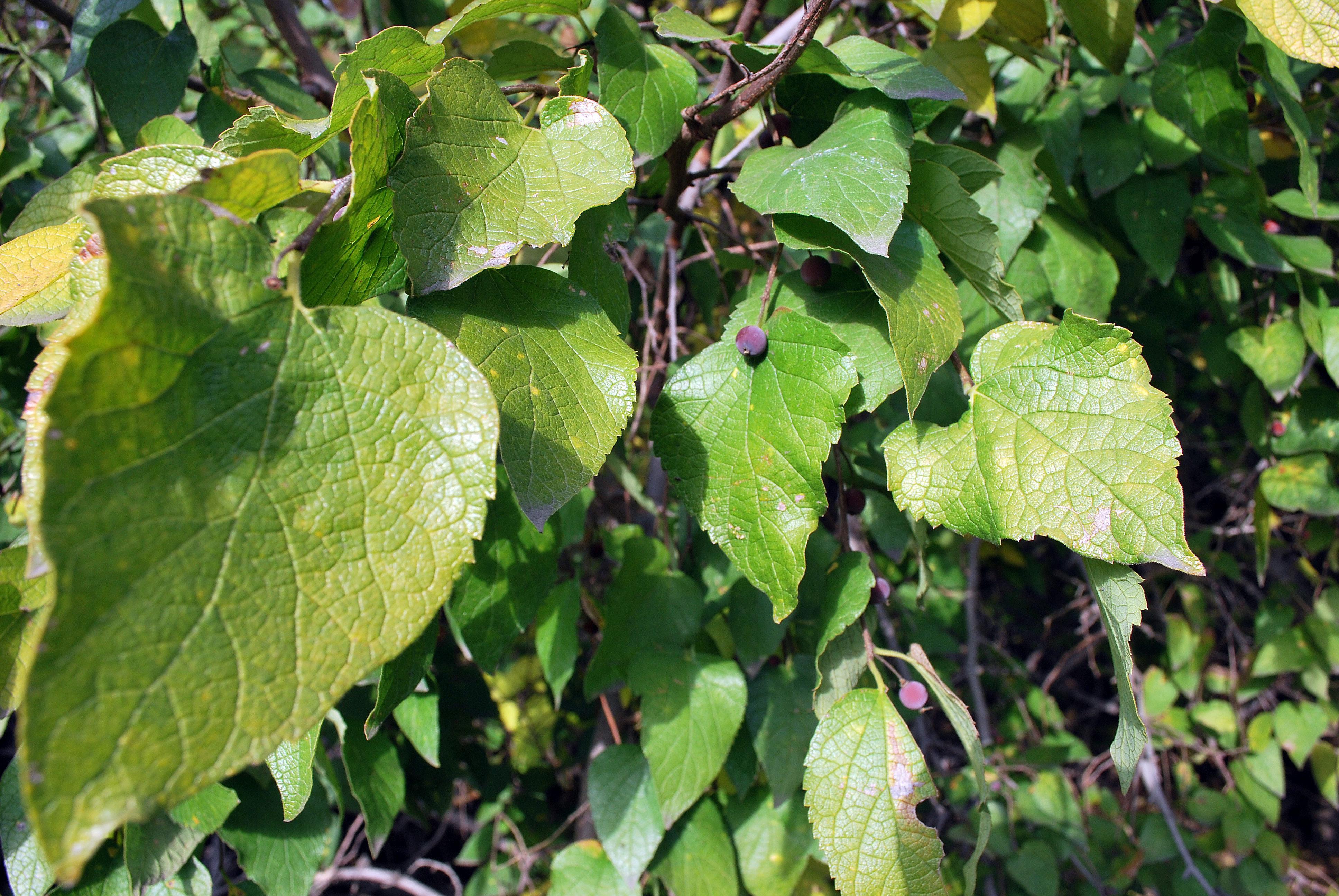 Growing The Netleaf Hackberry In Your Garden