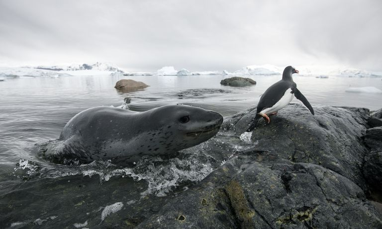 Leopard seal (Hydrurga leptonyx) hunting Gentoo Penguin (Pygoscelis papua) into shore, Cuverville Island, Antarctic Peninsula, Antarctica.