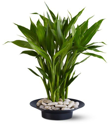 office feng shui plants. Office Feng Shui Plants. Lucky Bamboo Plant For Your Home Or Plants H