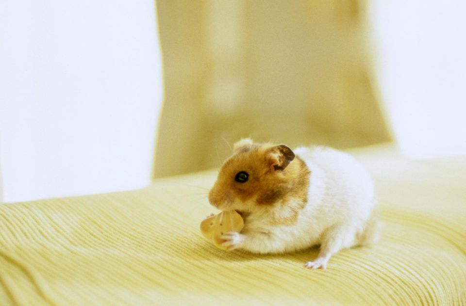 Hamster eating cracker on furniture