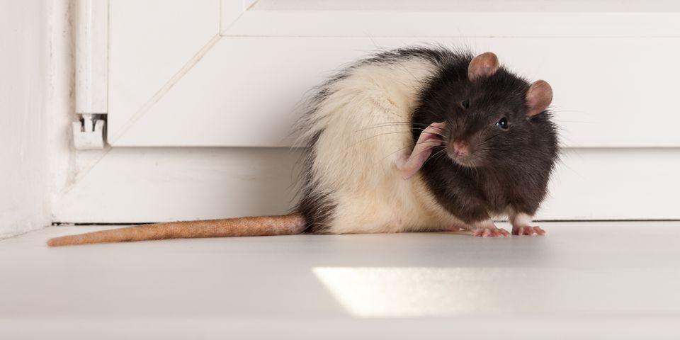 rat in house